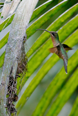 rufous-breasted hermit, hairy hermit, Glaucis hirsutus, at nest; spider web silk is used to bind nest material together and to fasten nest to Palm leaf. breeds from Panama south to Bolivia, and on Trinidad, Tobago and Grenada. Ceiba Tops Lodge, Amazon River, The Amazon, Rio Amazonas, in South America is the largest river by discharge volume of water in the world and according to most authorities, the second longest in length - Wikipedia; For Cuphea melvilla, Psychotria bahiensis and P. platypoda  the hairy hermit seems to be a pollinator of crucial importance, indicating that - though less often than the characteristic bill shape suggests - strong mutualisms between this bird and some of its foodplants do indeed exist.[3] Amazon River rainforest, Peru, South America, HermitRb7189czsm.tif