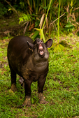 """South American tapir, Tapirus terrestris,  flehmen, flehmening, flehmen response flehmen position, flehmen reaction, flehming, is a behavior in which an animal curls back its upper lip exposing its front teeth, inhales with the nostrils usually closed and then often holds this position for several seconds. It may be performed over a site or substance of particular interest to the animal (e.g. urine, faeces or nearby animal in heat) or may be performed with the neck stretched and the head held high in the air. The main reason for, or function of flehmen is intraspecific, or within-species communication. By transferring air containing pheromones and other scents to the vomeronasal organ (VNO), an olfactory-chemosensory organ located between the roof of the mouth and the palate, animals can gather chemical """"messages"""". These scents tell an animal about other members of their species in some of the following ways: Identifying reproductive status; Reproductive synchrony; Post-parturition;   Brazilian tapir (from the Tupi tapi'ira), lowland tapir or (in Portuguese) anta, Ceiba Tops Lodge, Amazon River, The Amazon,;  Rio Amazonas, in South America is the largest river by discharge volume of water in the world and according to most authorities, the second longest in length - Wikipedia; Amazon River rainforest, Peru, South America, TapirB41676.CR2"""
