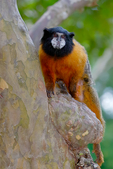 golden-mantled tamarin, Saguinus tripartitus, is a tamarin species from South America. It is found in Ecuador and Peru, specifically in the upper Amazon (lowland), east of the Andes in Ecuador, and Northeast Peru; between the Rio Curaray and Rio Napo in Peru. The golden-mantled tamarin is an arboreal, diurnal species ranging through the understory, moving by quadrupedal walk and leap, mainly on small horizontal supports. Leaping is the main gap-crossing mode of locomotion, though it decreases in proportion with a higher use of the upper forest layers.[6] This species is listed as Near Threatened but since petroleum has been found and roads have been started in both Ecuador and Peru in its limited range the future could be bleak for this incredibly cute primate. The pet trade could also be a problem as well as primates are eaten as bush meat in its range. Ceiba Tops Lodge area Monkey Island, Amazon River, The Amazon, Rio Amazonas, in South America is the largest river by discharge volume of water in the world and according to most authorities, the second longest in length - Wikipedia; Amazon River rainforest, Peru, South America, TamarinGM8845cznns200.jpg
