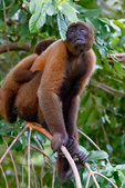 brown woolly monkey, common woolly monkey, or Humboldt's woolly monkey, Lagothrix lagothricha, is a woolly monkey from Colombia, Ecuador, Peru and Brazil., Ceiba Tops Lodge area Monkey Island, Amazon River, The Amazon, Rio Amazonas, in South America is the largest river by discharge volume of water in the world and according to most authorities, the second longest in length - Wikipedia; Amazon River rainforest, Peru, South America, MonkeyW48076czsv.tif