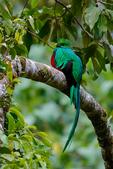 Quetzal, Resplendant Quetzal, Pharomachrus mocinno, trogon, Trogonidae, male, avacodo tree, cloud forest, bird, wet montane forest, Savegre, Savegre Mountain Hotel, Costa Rica, Central America, QuetzelR4485zsmh.tif