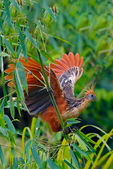 """Hoatzin, Opisthocomus hoazin, also known as the stinkbird, or Canje pheasant, is a species of tropical bird found in swamps, riparian forests, and mangroves of the Amazon and the Orinoco Delta in South America.eating leaves and fruit, and has an unusual digestive system with an enlarged crop used for fermentation of vegetable matter, in a manner broadly analogous to the digestive system of mammalian ruminants. The alternative name of """"stinkbird"""" is derived from the bird's foul odour, which is caused by the fermentation of food in its digestive system.[3] Wikipedia; Hoatzins feed on swamp plants, grinding foliage in a greatly enlarged crop, not the gizzard, as in other birds. It is notable for having chicks that possess claws on two of their wing digits. ontogeny recapitulates phylogeny; Lago Soledad, Lago Soledad Amazon Rainforest Wildlife Lodge, La Piedras Rainforest, Río Piedras, Amazon, primary forest, oxbow lake, Peru, South America, Hoatzin17546czssvz1.jpg"""
