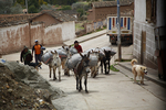 farmer, donkeys carrying potatoes to market, granger; farmhand, farm hand, field hand, farming; potato; cooking in earth earthen oven, Maras; Andes Mountains; Peru, South America, PERU23201.jpg