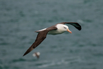 Black-browed Albatross, Thalassarche melanophris, Striats of Magellan, Fuegian Patagonian Channels, Tierra del Fuego archipelago, Punta Arenas, Chile, Patagonia, South America, AlbatrossBb42438L.jpg