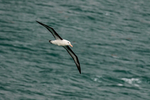 Black-browed Albatross, Thalassarche melanophris, Striats of Magellan, Fuegian Patagonian Channels, Tierra del Fuego archipelago, Punta Arenas, Chile, Patagonia, South America, AlbatrossBb42497L.jpg