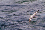 southern fulmar, Fulmarus glacialoides, Striats of Magellan, Fuegian Patagonian Channels, Tierra del Fuego archipelago, Punta Arenas, Chile, Patagonia, South America, FulmarS1132znhs.tif