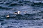 Black-browed Albatross, Thalassarche melanophris, southern fulmar, Fulmarus glacialoides, Cape Petrel, Daption capense, cape petrel, Striats of Magellan, Fuegian Patagonian Channels, Tierra del Fuego archipelago, Punta Arenas, Chile, Patagonia, South America, Seabirds1034.CR2