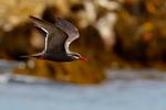 Inca Tern, Larosterna inca, Humbolt current endemic, Chile, Valpariso, South America, TernI49589czhns.tif