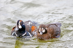 """harlequin duck, Histrionicus histrionicus, fast moving water, medium-sized diving duck, boldly marked, """"sea mouse"""", migratory, breeding plumage; Ocean City Inlet, Ocean City, Maryland; USA;  DuckH16974cznshze_40.jpg"""