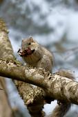 Delmarva Fox Squirrel, Sciurus niger cinereus, The Delmarva Peninsula fox squirrel is an endangered species inhabiting the refuge's  loblolly pine forests, eating pine cone, Chincoteague National Wildlife Refuge, Virginia, Chincoteague, Delmarva Peninsula, Eastern Shore, Chincoteague Island, Chincoteague Is., USA, endangered species, endangered subspecies of fox squirrel,  habitat protection is the key to its survival, SquirrelDF26332czvns.tif