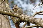 Delmarva Fox Squirrel, Sciurus niger cinereus, The Delmarva Peninsula fox squirrel is an endangered species inhabiting the refuge's  loblolly pine forests, eating pine cone, Chincoteague National Wildlife Refuge, Virginia, Chincoteague, Delmarva Peninsula, Eastern Shore, Chincoteague Island, Chincoteague Is., USA, endangered species, endangered subspecies of fox squirrel,  habitat protection is the key to its survival, SquirrelDF26447czhsSM.tif