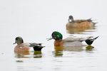 hybrid duck, American Wigeon x Mallard;  American wigeon, Anas americana, male, dabbling duck, sexually dimorphic; Cambridge; Oakley Street, Maryland, MD, DuckMXW21042cznhs1.tif