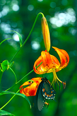 Turk's-cap Lily, Lilium superbum {Turk's cap Lily, Turkscap Lily, Turkscaplily, Swamp Lily, Pipevine Swallowtail Butterfly, Battus philenor, wildflower, wet meadows and woods, gentle giant of summer, native perennial} Craggy Gardens, Blue Ridge Parkway, North Carolina; BlueRidge6B62757zs1oc.tif