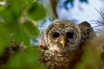 "barred owl, Strix varia, baby, babies, nestling, nest, local; altricial; Northern Barred Owl, Swamp Owl, Striped Owl, Hoot Owl, Eight hooter, Round-headed Owl, Le Chat-huant du Nord, The Hooting Cat of the North, Wood Owl, Rain Owl, mistakenly known as Bard Owl, distinctive hooting, ""who-cooks-for-you, who-cooks-for-you-all""; Everglades National Park, Mahogany Hammock, Florida, USA; environment; weather; climate; subtropical,  tropical; OwlBa42615zsroe1ahf.tif"