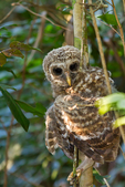 "barred owl, Strix varia, baby, babies, nestling, nest, local; altricial; Northern Barred Owl, Swamp Owl, Striped Owl, Hoot Owl, Eight hooter, Round-headed Owl, Le Chat-huant du Nord, The Hooting Cat of the North, Wood Owl, Rain Owl, mistakenly known as Bard Owl, distinctive hooting, ""who-cooks-for-you, who-cooks-for-you-all""; Everglades National Park, Mahogany Hammock, Florida, USA; environment; weather; climate; subtropical,  tropical; OwlBa42735Lrsoeebd.tif"