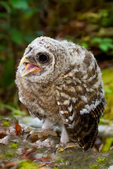 """barred owl, Strix varia, baby, babies, nestling, nest, local; altricial; Northern Barred Owl, Swamp Owl, Striped Owl, Hoot Owl, Eight hooter, Round-headed Owl, Le Chat-huant du Nord, The Hooting Cat of the North, Wood Owl, Rain Owl, mistakenly known as Bard Owl, distinctive hooting, """"who-cooks-for-you, who-cooks-for-you-all""""; Everglades National Park, Mahogany Hammock, Florida, USA; environment; weather; climate; subtropical,  tropical; OwlBa42764r3zs1v1x.tif"""