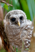"""barred owl, Strix varia, baby, babies, nestling, nest, local; altricial; Northern Barred Owl, Swamp Owl, Striped Owl, Hoot Owl, Eight hooter, Round-headed Owl, Le Chat-huant du Nord, The Hooting Cat of the North, Wood Owl, Rain Owl, mistakenly known as Bard Owl, distinctive hooting, """"who-cooks-for-you, who-cooks-for-you-all""""; Everglades National Park, Mahogany Hammock, Florida, USA; environment; weather; climate; subtropical,  tropical; OwlBa42804zesr.tif"""