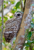 "barred owl, Strix varia, baby, babies, nestling, nest, local; altricial; Northern Barred Owl, Swamp Owl, Striped Owl, Hoot Owl, Eight hooter, Round-headed Owl, Le Chat-huant du Nord, The Hooting Cat of the North, Wood Owl, Rain Owl, mistakenly known as Bard Owl, distinctive hooting, ""who-cooks-for-you, who-cooks-for-you-all""; Everglades National Park, Mahogany Hammock, Florida, USA; environment; weather; climate; subtropical,  tropical; OwlBa42891zsr.tif"