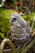 "barred owl, Strix varia, baby, babies, nestling, nest, local; altricial; Northern Barred Owl, Swamp Owl, Striped Owl, Hoot Owl, Eight hooter, Round-headed Owl, Le Chat-huant du Nord, The Hooting Cat of the North, Wood Owl, Rain Owl, mistakenly known as Bard Owl, distinctive hooting, ""who-cooks-for-you, who-cooks-for-you-all""; Everglades National Park, Mahogany Hammock, Florida, USA; environment; weather; climate; subtropical,  tropical; OwlBa42923rs.tif"