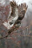 Great Grey Owl, Lapland Owl, Strix nebulosa; Canada, Ontario, OwlD3B8446bzse.jpg