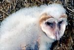 barn owl, Tyto alba, young, baby, juvenile, avian, bird; bird of prey, raptor, predatory, predator, owl, nocturnal, hunts, hunts at night, facial disk; BNOW,  Monkey-faced Owl, Ghost Owl, Church Owl, Death Owl, Hissing Owl, Hobgoblin Owl, Hobby Owl, Golden Owl, Silver Owl, White Owl, Night Owl, Rat Owl, Scritch Owl, Screech Owl, Straw Owl, Barnyard Owl, Delicate Owl, nearly worldwide--everywhere but Antarctica, animals; wildlife, birds,OwlBn1927.tif