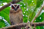 Crested Owl, Lophostrix cristata, Crested Owl is a nocturnal bird, roosting during the day in dense vegetation, especially in thickets along rivers. age; immature, hatching year, young, HY, juvenile, Paired owls often roost together. Lowland rainforest with undergrowth, mainly in primary forest but also second growth. south Mexico through Central America to Venezuela, Surinam, the Guianas, Amazonian Colombia, Ecuador, Peru, Brazil and Bolivia; Tortuguero, Tortuguero National Park, Costa Rica, Central America, OwlC44347czse.tif