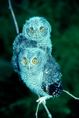 Eastern screech owl, Megascops asio, baby, young, avian, bird; bird of prey raptor, predatory, predator; owl, nocturnal, hunts, hunts at night, facial disk; screech owl; EASO, Otus asio, Eastern Screech-Owl, common screech Owl, Ghost Owl, Dusk Owl, Little-eared Owl, Spirit Owl, Little Dukelet, Texas Screech-Owl, Whickering Owl, Little Gray Owl, Mottled Owl, the Red Owl, the Mouse Owl, the Cat Owl, the Shivering Owl, the Little Horned Owl, Woodland Owl, animals; wildlife ; birds, Virginia; Shenandoah Valley;  OwlES7107nz.tif