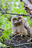great horned owl, Bubo virginianus;  age; baby, babies, nestling, nest, local; altricial, immature, hatching year, young, HY, juvenile;  bird of prey, raptor, predatory, predator; owls, owl nocturnal, hunts, hunts at night, facial disk;  GHOW, Tiger Owl, large native owl, prominent ear tufts, one of the most widespread owls in North America, one of the most common owls in North America; Gros Ventre campground, camping {camp}; tent, tenting, Wyoming, Grand Teton National Park, Teton Range, Jackson Hole, OwlGH4C1764zst.tif
