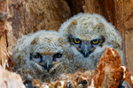 great horned owl, Bubo virginianus; baby babies in nest, immature, hatching year, young, HY; bird, bird of prey; owls, owl;  Ontario, Canada, avian, bird; bird of prey, raptor, predatory, predator; owl, nocturnal, hunts, hunts at night, facial disk; GHOW, Tiger Owl, large native owl, prominent ear tufts, one of the most widespread owls in North America, one of the most common owls in North America, animals; wildlife; birds, OwlGH7D1954zsh.tif