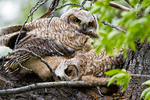 great horned owl, Bubo virginianus;  age; baby, babies, nestling, nest, local; altricial, immature, hatching year, young, HY, juvenile;  bird of prey, raptor, predatory, predator; owls, owl nocturnal, hunts, hunts at night, facial disk;  GHOW, Tiger Owl, large native owl, prominent ear tufts, one of the most widespread owls in North America, one of the most common owls in North America; Gros Ventre campground, camping {camp}; tent, tenting, Wyoming, Grand Teton National Park, Teton Range, Jackson Hole, OwlGH385087DzS.tif