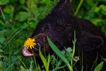 American Black Bear, Ursus americanus; cub eating sniffing a dandelion, young, baby, Waterton National Park, Alberta, Canada; BearnB1003781dzs.tif