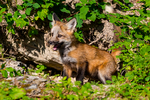 Red Fox, Vulpes vulpes,  = Vulpes fulva;  young, immature, baby, babies, juvenile; Kalispell, near Glacier National Park, Montana; North America; United States of America, GNPFFF0616zsx.tif