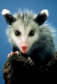 opossum, Didelphis virginiana; mammals;  baby, babies, immature, cute,  possum, marsupial, only native marsupial in North America, Didelphis marsupialis, prehensile tail, opposable hallux; Nineveh, Virginia, USA; Opossum101909znngs.tif