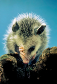 opossum, Didelphis virginiana; mammals;  baby, babies, immature, cute,  possum, marsupial, only native marsupial in North America, Didelphis marsupialis, prehensile tail, opposable hallux; Nineveh, Virginia, USA; Opossum10011781ngsRz.tif