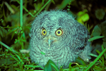 Eastern screech owl, Megascops asio, baby, young, avian, bird; bird of prey raptor, predatory, predator; owl, nocturnal, hunts, hunts at night, facial disk; screech owl; EASO, Otus asio, Eastern Screech-Owl, common screech Owl, Ghost Owl, Dusk Owl, Little-eared Owl, Spirit Owl, Little Dukelet, Texas Screech-Owl, Whickering Owl, Little Gray Owl, Mottled Owl, the Red Owl, the Mouse Owl, the Cat Owl, the Shivering Owl, the Little Horned Owl, Woodland Owl, animals; wildlife {undomesticated animals}; birds, 52623