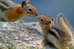 Golden-mantled Ground Squirrel, Spermophilus lateralis;  baby with adult; mammals; young, immature, baby, babies, juvenile; cheeks puffed up storing food to carry; Rocky Mountain National Park, Colorado, USA; SquirrelGm8361czsz.tif