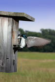 tree swallow, Tachycineta bicolor, young being fed, appear to swallow head of adult,  juveniles are brown instead of green/blue; VA,  Orland E. White State Arboretum and Blandy Experimental Farm, University of Virginia, SwallowT6922ha.tif