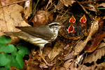 Louisiana Waterthrush, Seiurus motacilla, at nest, young, immature, baby, juvenile, hungry babies with mouths open, Sky Meadows State Park, Virginia, bird; warbler, Parulidae, new world warbler;  neotropical migrant,  USA;  animals; wildlife; birds, avian, aves, Louisiana Waterthrush, Seiurus motacilla, At nest with young, begging for food, Sky Meadows State Park, Virginia, WaterthrushL54600zsno.tif