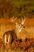 Whitetail Deer, Odocoileus virginianus; 8 point buck, fall in rut, Shenandoah National Park, Big Meadows, VA, Virginia, Fall colors, Autumn foliage, Autumn color, Autumn colors, deciduous; fall color, fall colors, autumn color, autumn colors, mammals; ruminant; deer; animals; wildlife; DeerW19445czs2.jpg