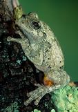 Cope's gray treefrog, Hyla chrysoscelis; amphibian; frog; treefrog, Hylidae {tree frog}; diploid species, Blue Ridge Parkway, North Carolina; TreefrogCG28xzns3.tif