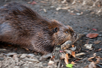 Beaver, Castor canadensis; mammals, mammal; beaver, Castoridae; incisors grow four feet a year to accomodate heavy wood chewing; busy as a beaver carrying stick; Beaver20051534.CR2