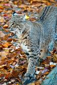 bobcat, Felis rufus, lynx, wildcat, Shenandoah National Park, Virginia, Appalachian Mountains, Blue Ridge Mountains, mammal; cat, feline; most common wildcat in North America, short bobbed tail, carnivore, elusive, nocturnal, solitary, stealth,  animals; wildlife; Bobcat61740.CR2