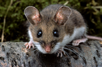 Deer Mouse, Peromyscus maniculatus, mammals; rodent, Rodentia; mouse; bicolor, nocturnal, animals; wildlife; MouseD1070zs.tif