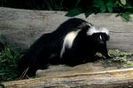 Striped Skunk, Mephitis mephitis, Shenandoah National Park, Virginia; VA, Appalachian Mountains, Blue Ridge Mountains, SkunkSt1629xzs.tif
