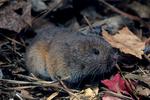 Pine vole, Pitymys pinetorum, Woodland Vole, Microtus pinetorum,  mammals; rodent; vole, Muridae; animals; wildlife ;  VoleP1829zs.tif