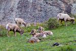 Bighorn Sheep, Ovis canadensis; Rocky Mountain National Park, Horseshoe Park, Endovalley, Colorado, USA; BighprnSheep3813_ARS.CR2