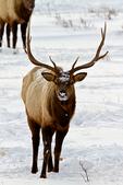 Rocky Mountain Elk, Cervus canadensis nelsoni; males bucks still with antlers; Winter {wintertime}; snow, snowstorm, snowflakes; = Cervus elaphus nelsoni, American Elk; Rocky Mountain National Park, Horseshoe Park, Colorado, USA; Elk3B9593_ARS.CR2