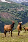 Elk, Cervus elaphus, Rocky Mountain National Park, Colorado, USA; Elk6B69906z1_ARS.tif