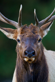 Elk, Cervus canadensis, Moraine Park, rut season when males buggle, fight, round up their harem and breed,  Rocky Mountain National Park, Colorado, USA;  wapiti, one of the largest species of deer in the world, elk one of the largest mammals in North America   Elk12D1039_ARS.CR2
