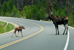Moose, Alces alces; female, young, baby, on the road, danger;  mammals; ruminant, ruminants;  Colorado River forms extensive wetlands on the west side of the park in the Kawuneeche Valley; Rocky Mountain National Park, Colorado, USA; Moose1B66177_ARS.CR2